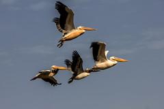 pellicani (mat56.) Tags: park parco pelicans nature birds flight natura uccelli volo senegal pellicani mat56 dudjoudj