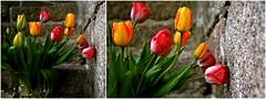 Tulipes & granit (louise garin) Tags: fleurs pierre tulipes granit