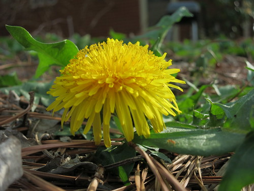 Taraxacum officinale, the common dandelion