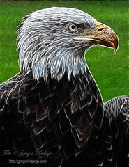 Beloglavi (gregork.) Tags: autumn wild nature birds czech eagle prey eurasian 2012 jesen ptica eurasianeagle živali češka fractalius ujeda