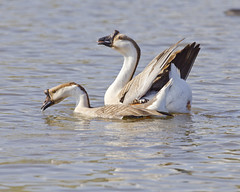 And there will be more geese (Ollie girl) Tags: love nature march geese dallas tx pair mating moment whiterocklake 2013