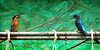 F_DDF_4151-佳偶-A Loving Couple-翠鳥-Kingfish-鳥-Bird-羽-Feathers-翼-Wings-桃園縣-Taoyuan County-台灣-Taiwan-中華民國-Rep of China-Nikon D700-Nikkor 300mm-May Lee 廖藹淳 (May-margy) Tags: bird wings feathers taiwan 台灣 鳥 kingfish taoyuancounty 中華民國 桃園縣 羽 翠鳥 翼 nikkor300mm nikond700 repofchina maymargy maylee廖藹淳 佳偶 alovingcouple
