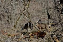 Deer at Whitewater State Park (DavidWells254) Tags: statepark park minnesota woods whitewater wildlife doe deer mn whitewaterstatepark