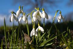 Zvoncki (gregork.) Tags: macro makro selo vodice marec 2013 pomlad rože zvončki