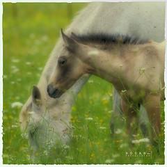 RoAr_9779 (Rosano) Tags: naturaleza fauna caballos rosano losbarrios montelatorre vigilantphotographersunite vpu2
