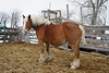Better Move Me To A Seperate Corral (Roofer 1) Tags: belgian workhorse sunrays5 readytofoal