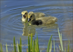 """""""Aw your piece is bigger than mine"""". (funpics 47) Tags: goslings canadagoose brantacanadensis"""