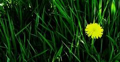 1320 In the grass (Nebojsa Mladjenovic) Tags: flowers light france green nature grass yellow digital french outdoors lumix spring frankreich burgundy panasonic frankrijk bourgogne francia priroda morvan francais fz50 yonne svetlost mladjenovic