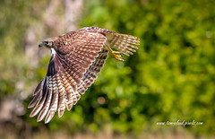 Hawk in Flight (tclaud2002) Tags: hawk fly flight wings low bird birdofprey animal wildlife nature outdoors outside stuart florida usa