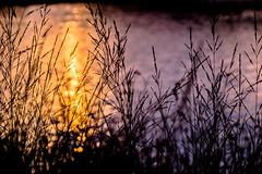 Sunset (*Capture the Moment*) Tags: backlight blumen bokeh bubbles dof depthoffield gegenlicht natur pflanzen sonne sonnenuntergang sonynex7 sun sunset trioplan28100neo wetter gold golden