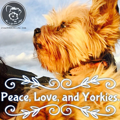 A recipe for heaven. (itsayorkielife) Tags: yorkiememe yorkie yorkshireterrier quote