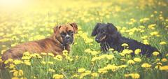 Abbie und Ziva (Eleonora Lengemann) Tags: outdoor boxer dackel frhling lwenzahn dachhund