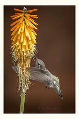 Mid air dance (Krasne oci) Tags: hummingbird bird hummer birdinflight birdfeeding wildbird smallbirds flowers artphoto evabartos nature garden flickr nectar canon5dmarkiii