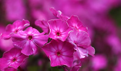 Summer Power (AnyMotion) Tags: phlox flammenblume phloxpaniculata blossom blte petals bltenbltter 2016 floral flowers botanischergarten frankfurt plants anymotion colours colors farben pink rosa 7d2 canoneos7dmarkii summer sommer t verano zomer estate