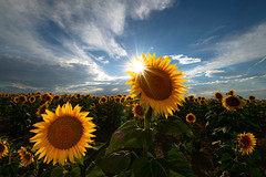 Sunny Summer Days (Robin-Wilson) Tags: summer sunflower flare fieldsofflowers flowers reflectedlight singleexposure clouds bluesky denver milehigh sunny nikond800 nikon1635mmf4 cplfilter windshieldshade