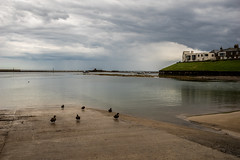 duck life (pamelaadam) Tags: geolat55582641 geolon1651997 thebiggestgroup fotolog digital sea bird duck july summer 2016 holiday2016 seahouses northumbria engerlandshire