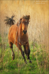 (evelyng23) Tags: 912016 i500 interestingness explore 292 micanopy wild horses horse galloping wildlife nature action running sunset golden pentaxk3 aficionados sigma 150500mm paynes paynesprairie preserve florida 2015 evelyng23 gainesville usa topaz clean lenseffects