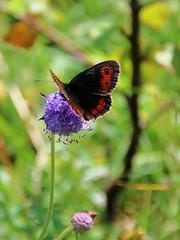 Scotch Argus Butterfly (robin denton) Tags: grasswood yorkshiredales yorkshiredalesnationalpark nationalpark nature yorkshirewildlifetrust wildlifetrust northyorkshire wharfedale butterfly