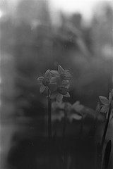 Signs of life (the_anachronist) Tags: daffodil flower little life bw monochrome film 35mm selfdeveloped nikon f55 nikkor 50mm f18d ilford hp5 filmisnotdead petal leaf old faded still