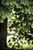 chauds les marrons! (mamuangsuk) Tags: marronnier chestnut castagno plant tree vegetal arbre green bokeh chestnutleaves feuilledemarronnier 6d ef135f2lusm mamuangsuk