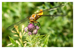 Perched.... (kevingrieve610) Tags: dragonfly nature wings wow depthoffield flickr canon 6d ef100mm summer 2016