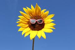 238/366 Happy Thursday (Helen Orozco) Tags: sunflower sunglasses 2016366 thursday canonrebelsl1 smile happy