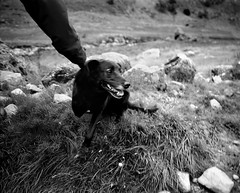 Three Legged Dog - Lake District (Richard James Palmer) Tags: mamiya7ii mamiya 7ii 80mm ilford hp5 ilfordmicrophen microphen ishootfilm shoot film iso 400 iso400 ilfordhp5 f4 newcastle northeast north east photography portrait black white rangefinder medium format 120 filmisnotdead analogue documentary epsonperfectionv700 epson v700 1125 newcastleupontyne upon tyne tyneandwear northern uk england melancholy art fineart new overcast isolated walkabout 2016 gritty gloomy abstract trapped blackandwhite monochrome dog three legged