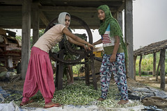 Farmers daughter Jay Devi Yadav gets help from her younger sister to slice Napier grass for cattle feed with a hand-powered cutting machine in Sirkohiya, Bardiya. (CIMMYT) Tags: nepal csisa cimmyt maize agriculture smallholder farmer mechanization asia