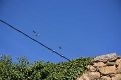 Orenetes (esta_ahi) Tags: orenetes golondrinas hirundinidae hirundorustica passeriformes aves fauna guardiola guardioladebassella guardioladesegre alturgell lleida lrida spain espaa