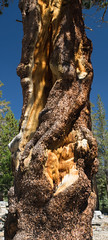 Injured Lodgepole Pine (deanwampler) Tags: sierras anseladamswilderness jmt johnmuirtrail