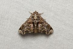 Lepidoptera (Moth sp.) - Costa Rica (Nick Dean1) Tags: lepidoptera animalia arthropoda arthropod hexapoda hexapod insect insecta moth guanacaste costarica canascastilla lacruz