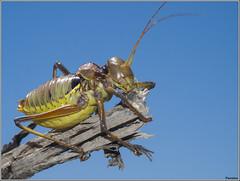 Chicharra de montaa 1. (josemph) Tags: olympus e3 sigma 105mm macro insectos ortpteros bradyporidae chicharrademontaa neocallicraniamiegii