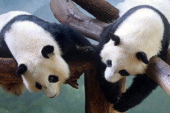 Hanging around (smileybears) Tags: zooatlanta panda giantpanda pandatwins meihuan meilun bear