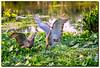 Family time (jeannie'spix) Tags: peacefulwaters sandhillcranes sandhillcrane cranefamily nature family birds bird