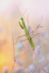 Mantis religiosa (MichaSauer) Tags: europischegottesanbeterin gottesanbeterin mantis mantereligieuse mantodea mantid kaiserstuhl sonnenuntergang sunset makro macro