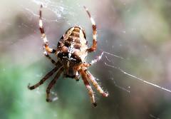 Fall is here! (TJ Gehling) Tags: arachnida araneae spider araneidae gardenspider araneus araneusdiadematus canyontrailpark elcerrito