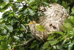 WASP NEST (BIG KEV6 ## THE MACKEM ##) Tags: german waspm wasps vespula germanica vespa vulgaris common swarm queen hibernation