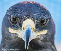White tail eagle (rogerbo69) Tags: eagle byrd byrdofprey vogel greifvogel natur animal tiere wwwfacebookcomsvofoto