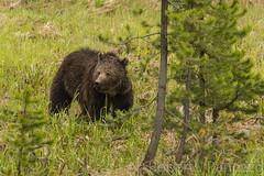 Heads up (ChicagoBob46) Tags: grizz grizzly grizzlybear bear boar yellowstone yellowstonenationalpark nature wildlife