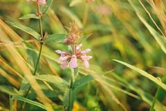 Flower (Lotte van der Krol) Tags: flower grass nature