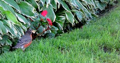 Robin in the morning (siong.lewis) Tags: bird morning fauna flower plant robin avian