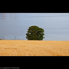 Tay Tree (widdowquinn) Tags: dundee places rivertay scotland tay tayport blue bucolic farm farmwater farming field green oats pastoral tree yellow