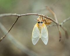 Cicada (MoeDW) Tags: cicada periodicalcicada broodvcicada indianpointpark lakemetroparks