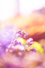 (ingrid.schnelle) Tags: canon eos 5d mark ii ef100mm f28l macro is usm plant flower flowers garden pink orange sunset evening 2016 dof dreamy