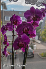 Pink Orchid in the lens (Bernsteindrache7) Tags: summer spring flora fauna flower bloom blossom blume color home indoor pink