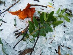 DSCN8272 (Fluff Tater) Tags: middleton wisconsin 19sept2016 hail leaf