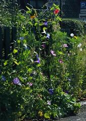 Purpur-Prunkwinde (Ipomoea purpurea); Bergenhusen, Stapelholm (19) (Chironius) Tags: stapelholm bergenhusen schleswigholstein deutschland germany allemagne alemania germania    ogie pomie szlezwigholsztyn niemcy pomienie blte blossom flower fleur flor fiore blten    asterids campanuliids solanales nachtschattenartige windengewchse blau convolvulaceae ipomoea prunkwinde