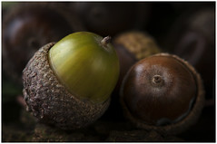 Macro Mondays – The First Letter of My Name - A - Acorns (andymoore732) Tags: macromondays macro mondays thefirstletterofmyname a acorn acorns autumn fall green brown oak texture colour nikon d300 afs vr micronikkor 105mm f28gifed challenge theme flickr andymoore englishoak acorncup macromonday
