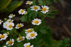 Late Summer Smiles (SunnyDazzled) Tags: flower blooms feverfew herb mum macro dof small daisylike nature garden