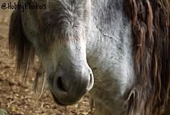 Odeur (hobbyphoto18) Tags: naseau nostril ne donkey quid equine haiku animal pentaxk50 pentax k50 extrieur coudekerquebranche ferme farm fermepdagogique fermevernaelde